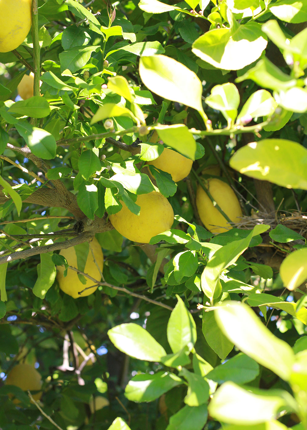 the lemon tree in the backyard of our palm springs airbnb | thelovedesignedlife
