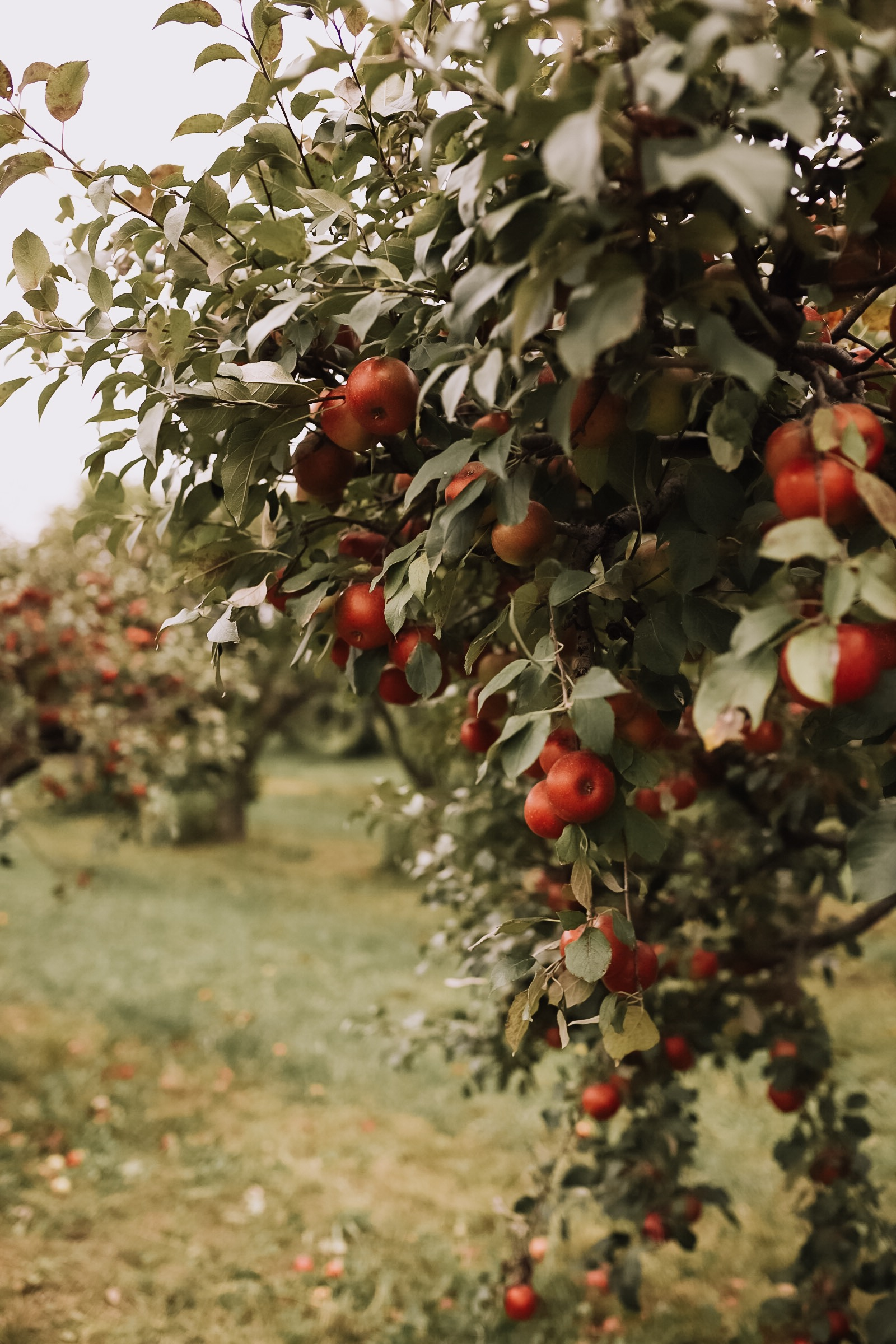 the most gorgeous apple orchard! | thelovedesignedlife.com #applepicking #fallapples #southdakota