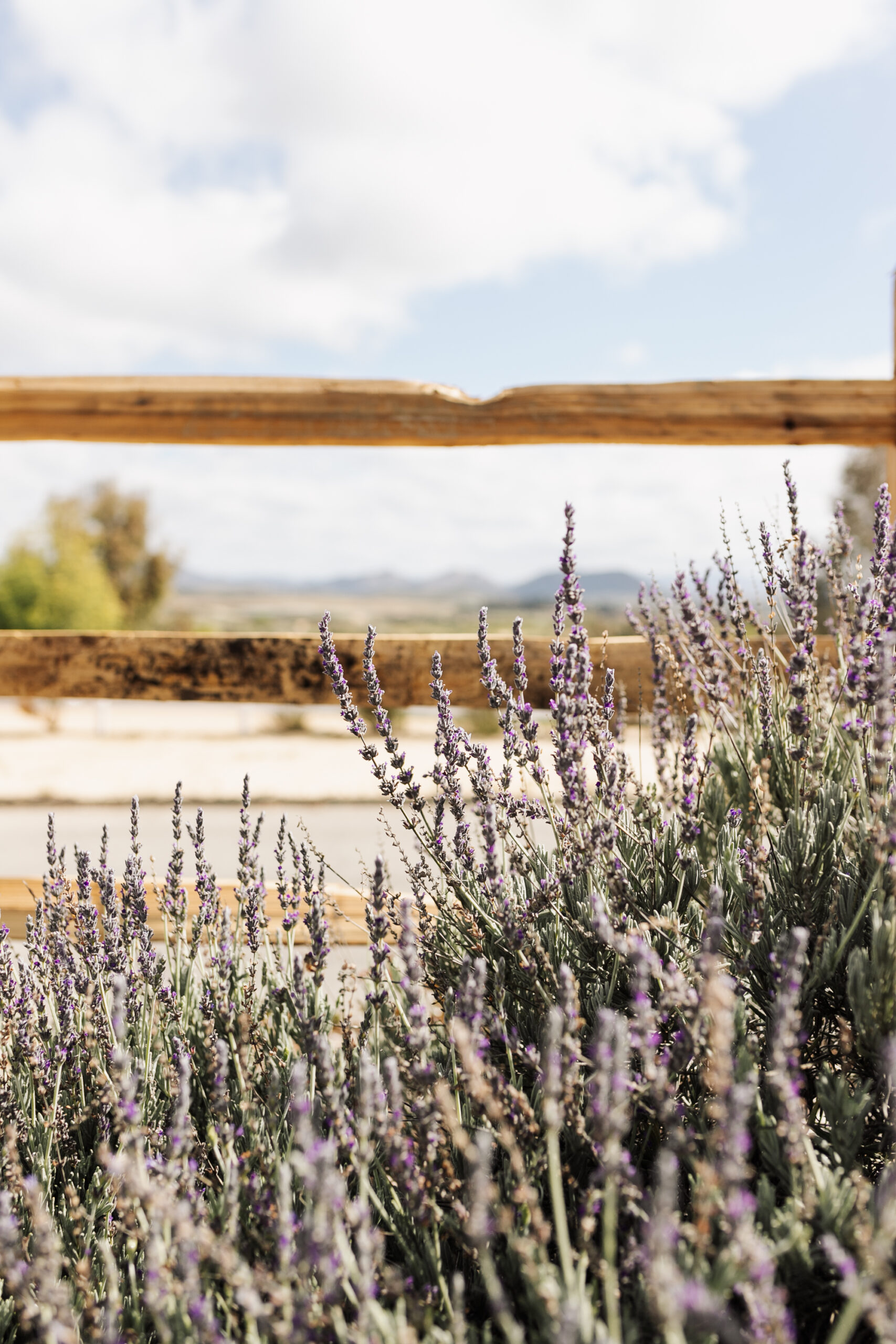 this gorgeous lavender was growing right outside our back patio and smelled amazing! #lavendar #winecountry #temecula