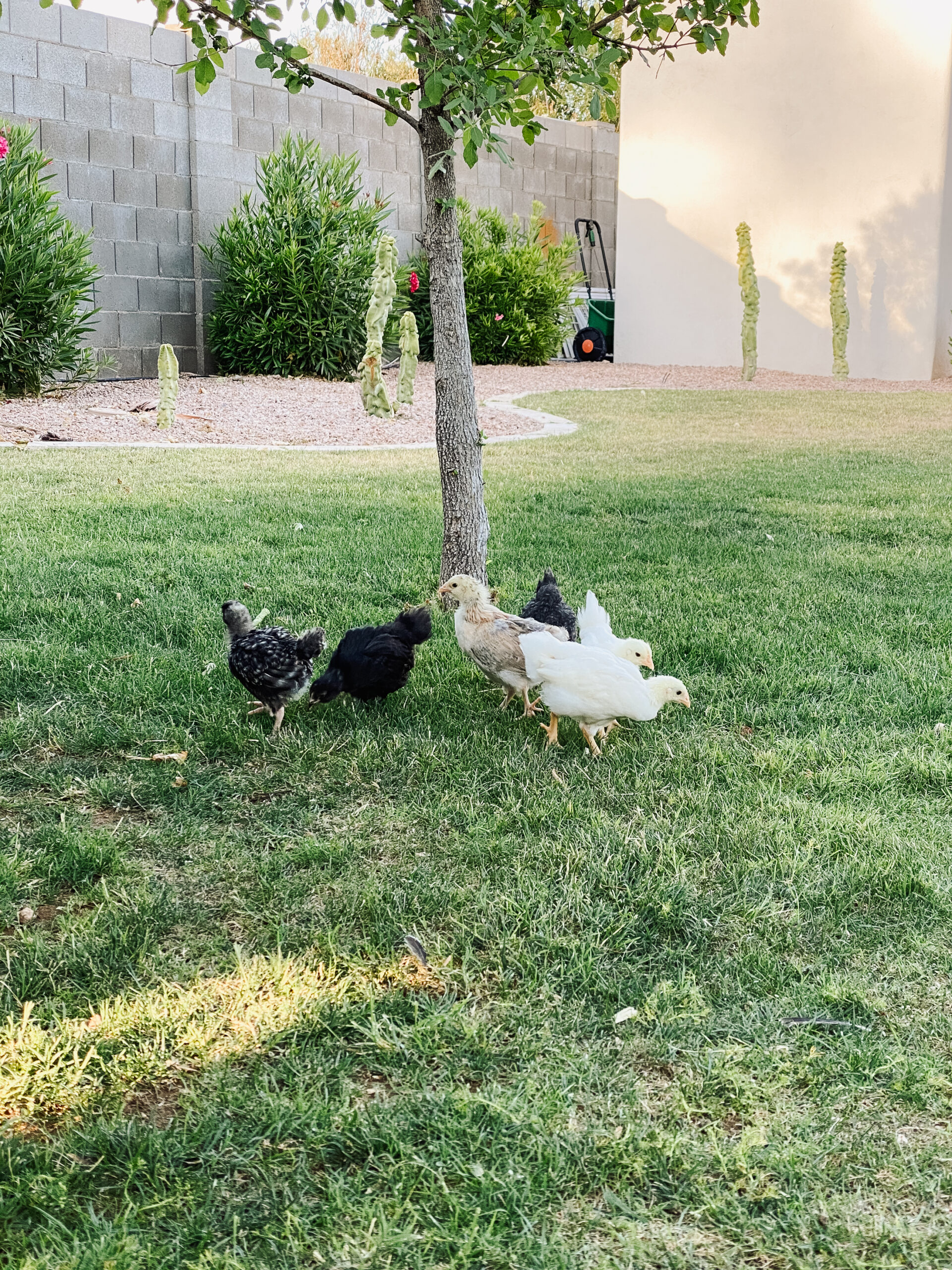 free ranging our baby chicks in the backyard #thelovedesignedlife #backyardchickens #freeranging