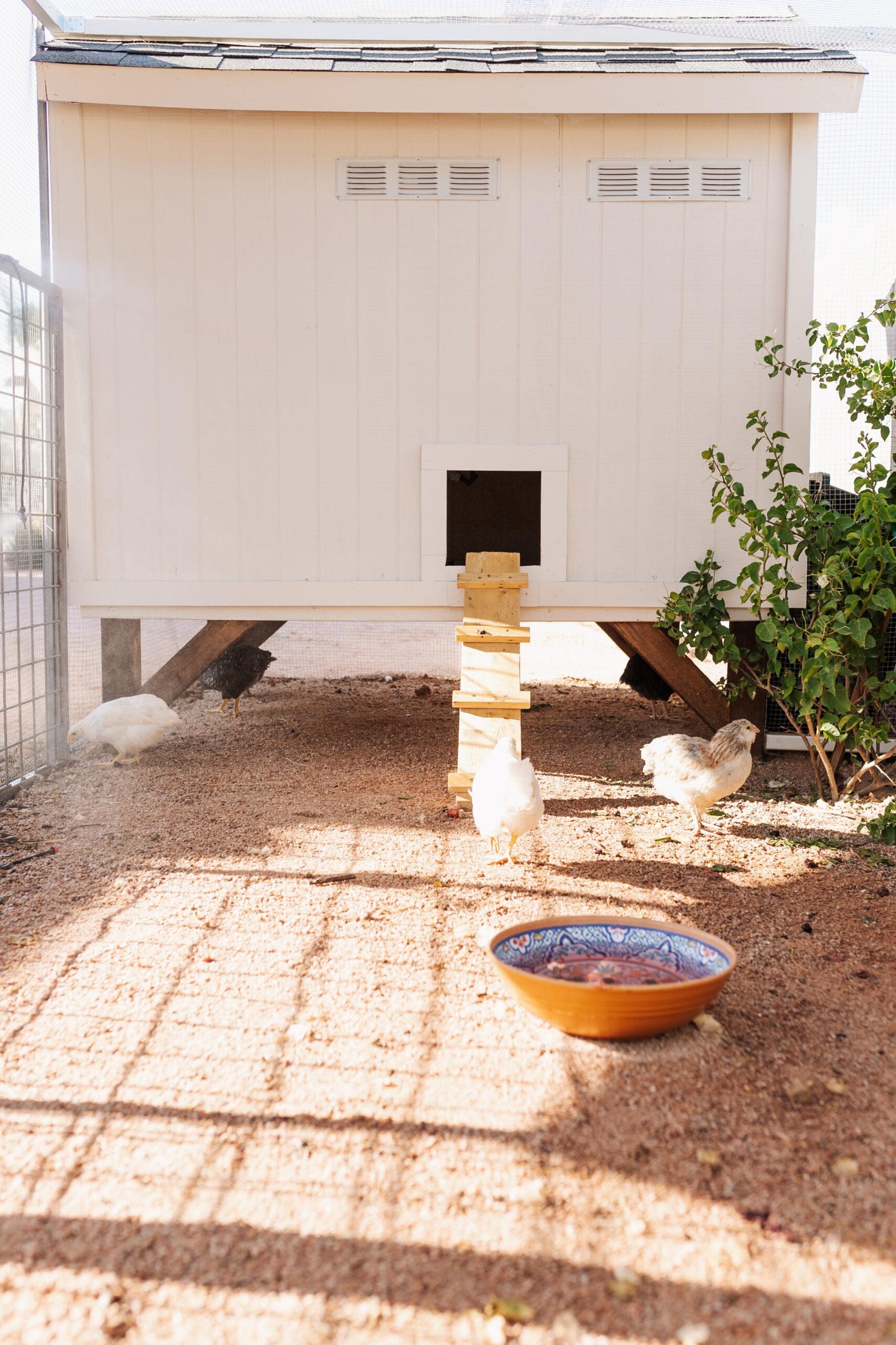 happy chickens in their new desert chicken coop and run #thelovedesignedlife #backyardchickens #raisingchickens #fresheggs
