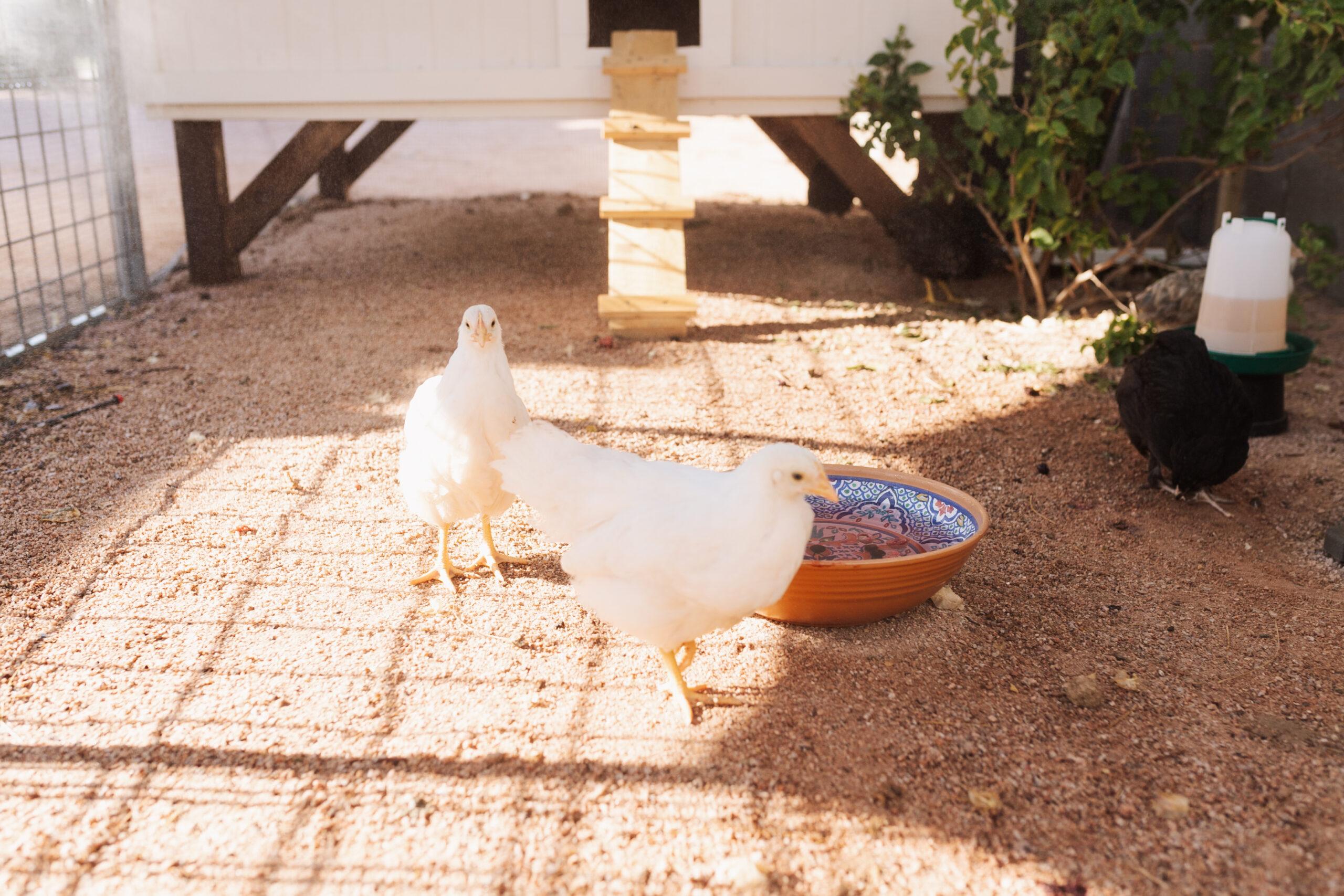 happy chickens in the backyard shaded predator proof chicken run